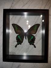 Papilio Maackii Schmetterling Schaukasten beidseitig UV- Glas