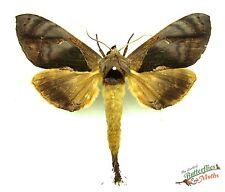 large brown moth Crinodes besckei SET x1 Guatemala entomology framing insect art