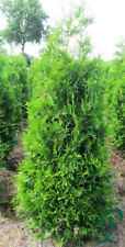 Thuja Brabant 140-160 cm Pflanzenhöhe inkl. Versand 22 x Pflanzen 350,- Euro.