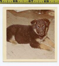 Vintage 1960's DOG photo / Sweet Australian Shepherd Puppy with Blue Zombie Eyes