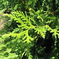 Arborvitae Thuja Green Giant (2-3')