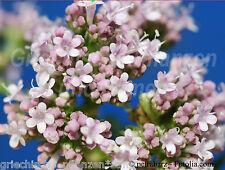 Echter Baldrian plante médicinale précieuse Heilpflanze 50 graines Striga herbes