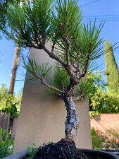 Black pine bonsai (cork Bark)