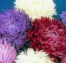 Aster - Tiger Paw Sea Star Mixed - 50 Seeds