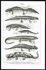 1928 Salamanders Species, Amphibian Urodela, Antique Zoology Plate - Meyers