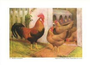 Single Comb Brown Leghorns by F. L. Sewell 1926-52 Poultry Tribune Reprint