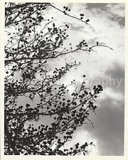 SKY TREE Clouds 8 x 10 FOUND PHOTOGRAPH Vintage bw FREE SHIPPING Original H 50