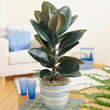 Ficus Abidjan   Indoor Potted Houseplant for Sale   (30-40cm Incl. Pot)