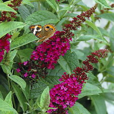 "Buddleia x Miss Molly  Butterfly Bush - Sangria Red -Proven Winners- 4"" pot"
