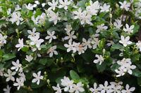 Die zarte Jasmin Blüten erfüllen mit ihrem Duft die ganze Wohnung.