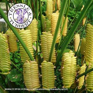 Rare Calathea crotalifers Yellow Rattleshaker 3 seeds  UK SELLER