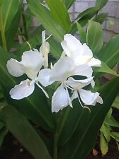 White Ginger Lily Bulb / Rhizomes Flowers Like A Butterfly Attracts Hummingbird