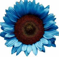 Blue Midnight Black Oil Sunflower Seeds  Rare Flower Colorful Bonsai Plant.