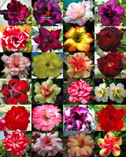 "ADENIUM ""Mixed 24 Type"" 112 Seeds RARE!!"