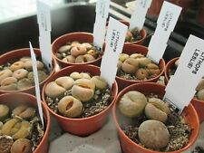 LITHOPS LESLIEI - 5.5 cm.pot of individual plants.