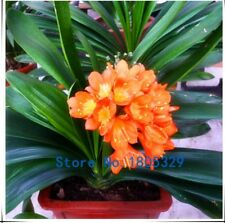 50PCS/bag MIX Clivia seeds, potted seed, flower seeds, variety complete,