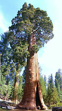 Giant sequoia, Sequoiadendron giganteum redwood forest TREE wood seed -10 seeds