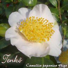 """Kamelie """"Tenkô"""" - Camellia japonica higo - 3-jährige Pflanze"""