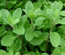 Sweet Marjoram Seeds 1000+ Herb garden Plants Aroma Culinary Spice Free Shipping