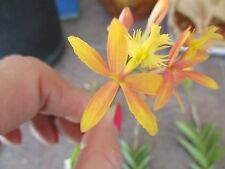Epidendrum Orchids Yellow Flushed w/Salmon Rooted plant