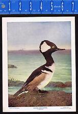 HOODED MERGANSER Duck- 1899 Nature Bird Print PLUS Bonus