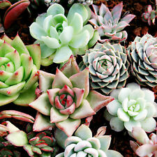 150pcs Mixed Succulent Seeds Lithops Rare Living Stones Plants Cactus Pot Plant