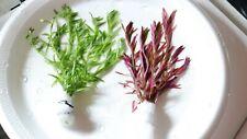 Rotala Green + Rotala H'Ra *Buy 2 Get 1 Free* Live Aquarium Plant Aquatic Plant