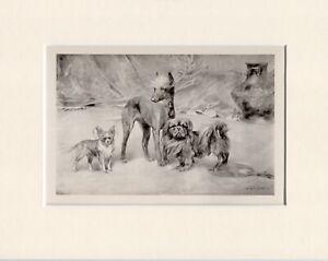 CHINESE CRESTED CHIHUAHUA PEKINGESE RARE 1897 ANTIQUE DOG PRINT ARTHUR WARDLE