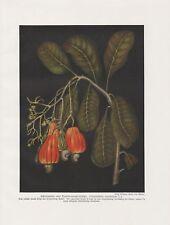 Cashewbaum Anacardium Occidentale impression couleur de 1912 kaschubaum acajoubaum
