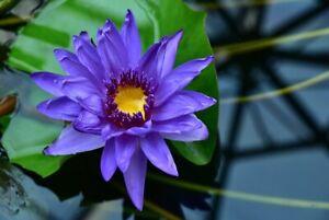 blaue Zwergseerose Teichpflanzen wasserreinigend blühend winterhart Deko Pflanze