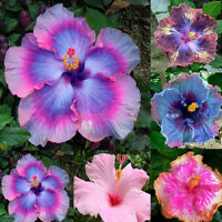 CG_ 100Pcs Rare Rainbow Giant Hibiscus Seeds Potted Plant Perennial Flower Seed
