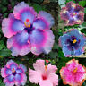 HD_ 100Pcs Rare Rainbow Giant Hibiscus Seeds Potted Plant Perennial Flower Seed