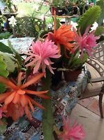 2 EPIPHYLLUM ORCHID CACTUS PLANTS AND 2 CUTTINGS  5-9 INCH  +1 FREE SMALL ROOTED