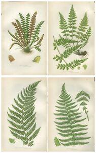 Lot of 4 Original Antique Victorian PRATT Fern Prints Botanical 1862 - Lot 52