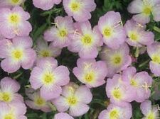 Evening Primrose (Oenothera Speciosa)- Showy Pink- 500 Seeds