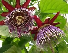 Passiflora Quadrangularis - 10 Seeds- Giant Granadilla Passion Flower Fruit Vine