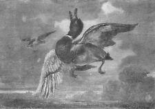 BIRDS. The stricken Mallard, antique print, 1856