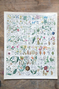 LORENZ OKEN Samenpflanzen Früchte Blüten Botanik 1840 Lithographie handkoloriert