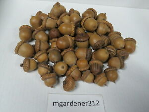 25+ Dried Acorns WITH Caps for Crafts, Natural Buffed Finish, Small-Medium-Large