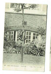 London Zoo postcard Black Ape up a tree LL 931
