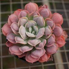 CG: Echeveria RainDrops Succulents Aeonium Crassula Lithops Sedum Haworthia