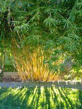 100+ fresh Bamboo Seeds with instructions - Fargesia / Borinda Fungosa