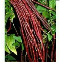 DWARF BEAN Windsor Long Pod 15 Seeds HEIRLOOM vegetable garden BUSH snap FRENCH