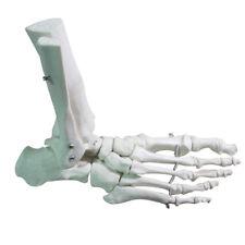 1:1 Human Skeleton Ligament Foot Ankle Joint Anatomical Anatomy Medical Model