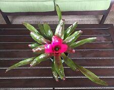 Bromeliad Lila