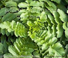 BLATT RETTICH * 50 Samen * SEHR SELTEN Ernte nach 40 Tagen * zart Salat Radiesch
