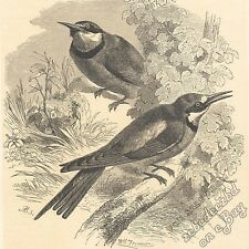 Bee-Eaters: antique 1866 engraving print: bird picture animal drawing art nature