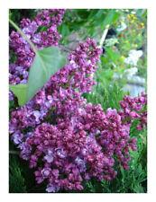 "Syringa vulgaris Prince Wolkonsky-Lilac Plant in 3.5"" pot"