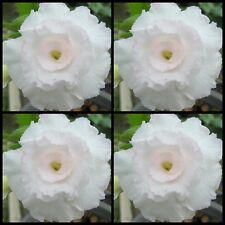 Adenium~Desert Rose < KAWHEMA~Double > Suit Bonsai Indoor~10 SEEDS