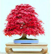 Maple Japanese Red Tree Seeds Palmatum Bonsai Atropurpureum Plant Garden 20 Pcs